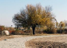 老柳树 (1)